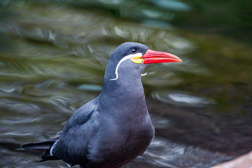 Inca Tern, Tern, Coastal Bird, Bird, Water