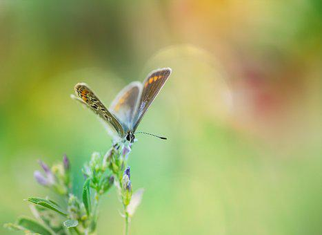 Common Blue, Butterfly, Common Bläuling, Butterflies