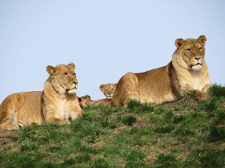 Lion, Young, Cub, Lioness, Mother, Nature, Young Animal