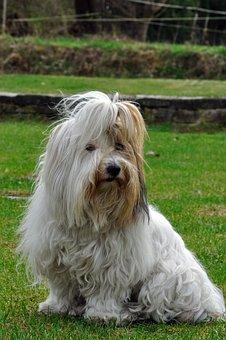 Animal, Dog, Coton De Tulear, Pet Photography
