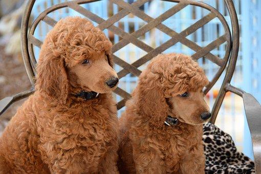 Puppies, Poodles, Standard Poodles, Dog, Pet, Animal