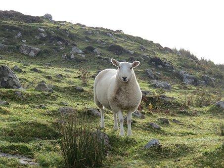 Sheep, Ram, Ewe, Animal, Mammal, Nature, Domestic