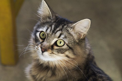 Cat, Eyes, Animal, Feline, Tabby Cat, Cat Eyes