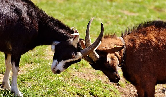 Goats, Play, Fight, Domestic Goat, Cute