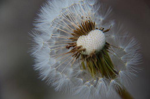 Dandelion, Wish, Nature, Spring, Flower, Summer, Seed