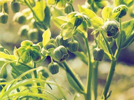 Hellebores Foul, Hellebores, Flowers, Helleborus