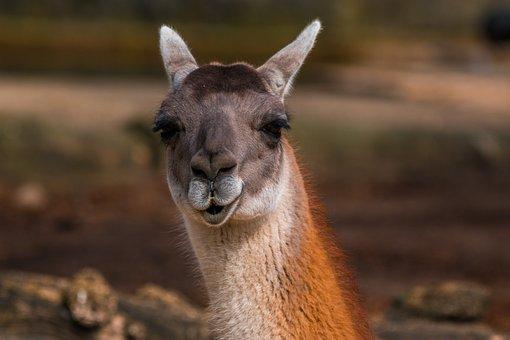 Alpaca, Kamelart, Paarhufer, Fur, Head, Face, Close