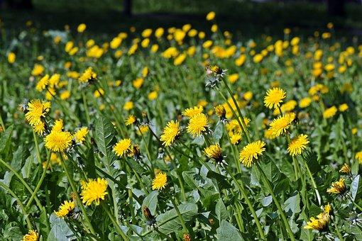 Sonchus Oleraceus, Meadow, Spring Meadow, Dandelion