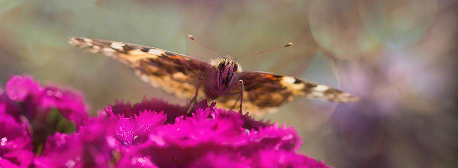 Painted Lady, Butterfly, Insect, Nature, Blossom, Bloom