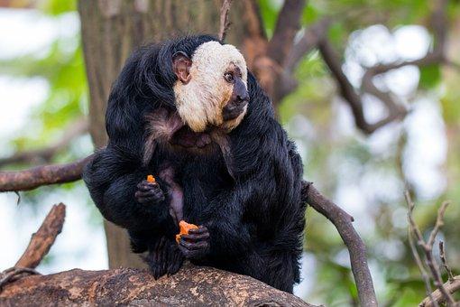 Face White Saki, Monkey, Primate, Pithecia, Mammal