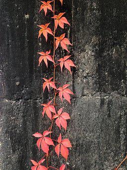 Virginia Creeper, Wall, Red, Plant, Autumn