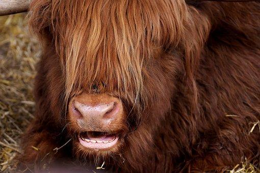 Highland Beef, Head, Chew, Farm Animal, Snout