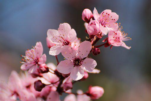 Blood Plum, Flowers, Spring, Tree, Bloom, Red Leaf