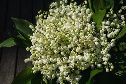 Lily Of The Valley, May, Spring, Toxic, Blossom, Bloom