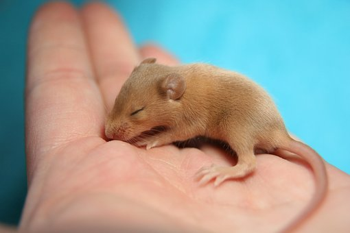 Mouse, Color Mouse, Hand, Baby, Cute, Tame, Small