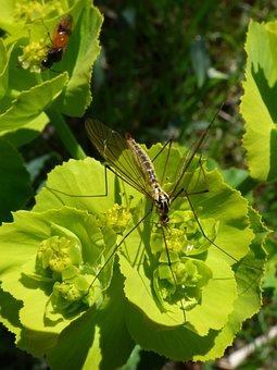 Nephrotoma Quadrifaria, Tipúlido, Tipulidae
