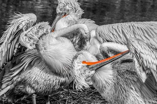 Pelikan, Bird, Water Bird, Bill, Animal Portrait