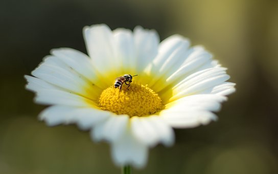 Bee, Flower, White, Nature, Spring, Honey, Yellow