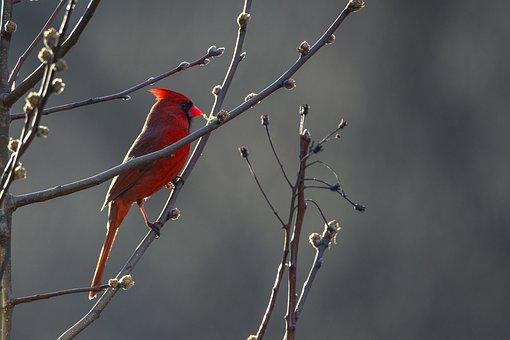 Cardinal, Bird, Red, Nature, Wildlife, Wild, Beak