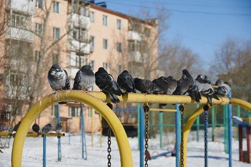 Dove, Winter, Yard, The Urban Landscape