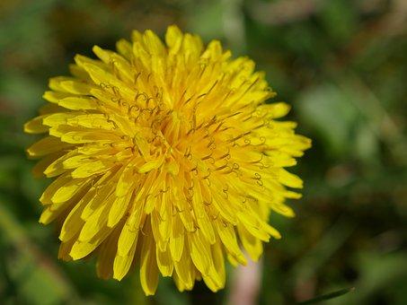 Dandelion, Yellow, Flower, Taraxacum Officinale