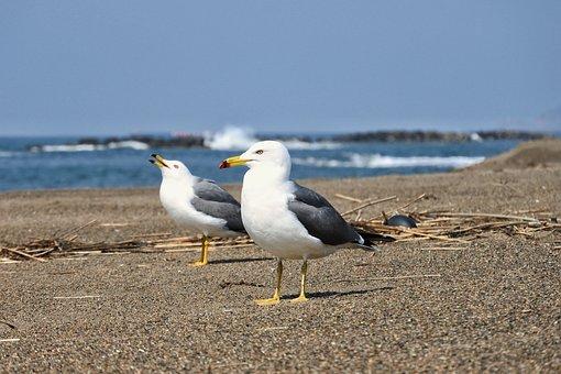 Animal, Sea, Beach, Sea Gull, Seagull, Bird, Seabird