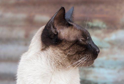 Cat, Siamese, Animal, Pet, Cute, Fur, Kitten, Feline