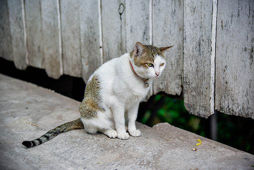 Cat, Temple Cat, Cute, Persistent, Petite