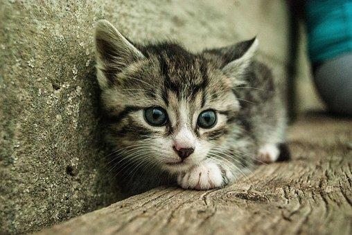 Cat, Pet, Animal, Domestic, White, Cute, Kitten