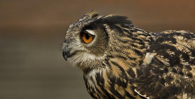 Eagle Owl, Bird, Owl, Feather, Bird Of Prey