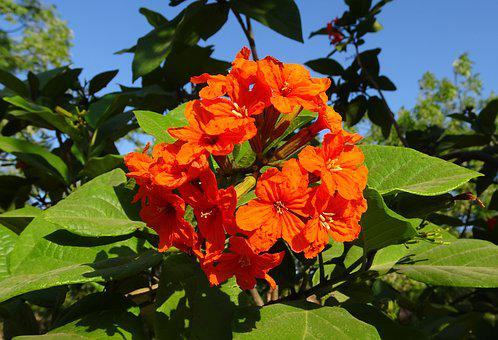 Flower, Orange, Scarlet Cordia, Orange Geiger Tree