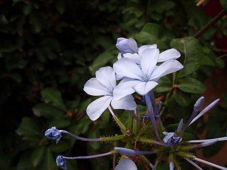 Blue Flower, Flower Lilac, Wild Flower, Flowers, Flower