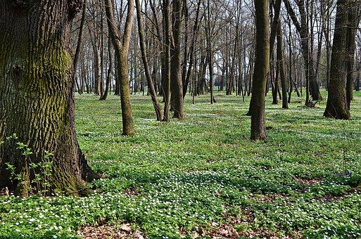 Forest, Tree, Flowers, Nature, Spring, Green, Landscape