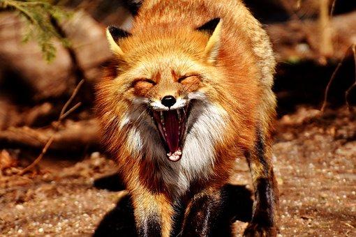 Fuchs, Yawn, Funny, Wild Animal, Tired, Tooth, Foot