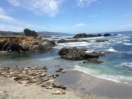 Harbor Seals, Pacific Ocean, Sea Ranch, Coast, Beach