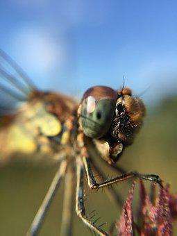 Dragonfly, Damselfly, Macro, Insect, Wildlife, Nature