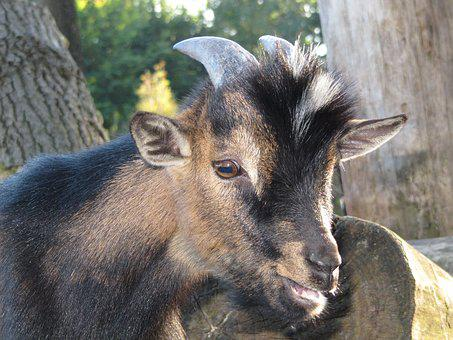 Goat, Kid, Nature, Cute, Domestic Goat, Farm