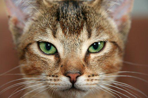 Cat, Kitten, Abyssinian, Cat's Eyes, Domestic Cat