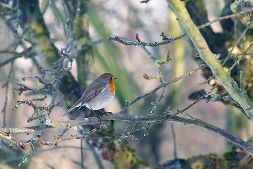 Robins, Bird, Natural, Expensive, Have, Denmark, Spring