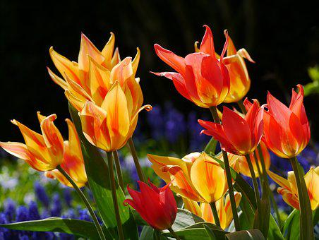 Tulips, Spring Bed, Red, Orange, Yellow, Flamed