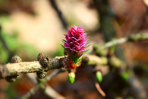 Tree, Larch, Branch, Nature, Spring, Flower