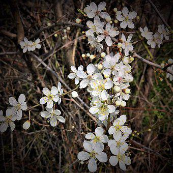 Plant, Rock Cherry, Stone Vistula, Many Flowers, Small