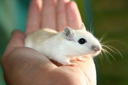 Mouse, Racing Mouse, Nager, Pet, Sun, Hand, Tame