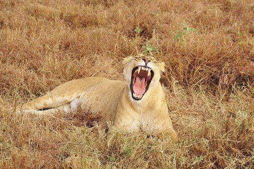 Lion, Yawn, Animal, Nature, Africa, Cat, Safari