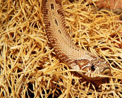 Snake, Terrarium, Heterodon Nasicus, Reptile, Animal