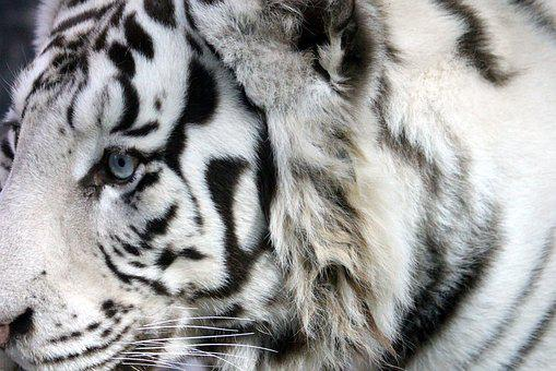 White Tiger, Bengal Tiger, Indian Tiger, Wild Cat