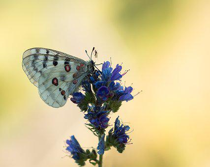 Apollo, Butterfly, Apollofalter, Insect, Blossom, Bloom