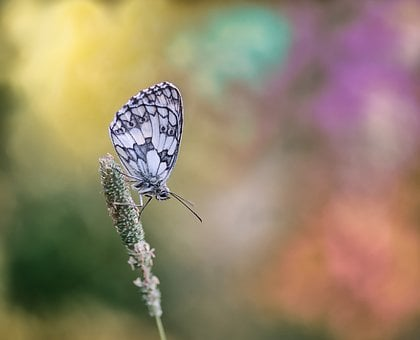 Checkered Butterfly, Butterfly, Macro, Nature, Blossom