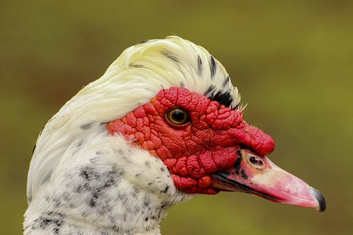Duck, Creole, Ave, Mallard, Animal, Palmípeda, Aquatic