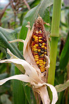 Corn, Maize, Grow, Agriculture, Crop, Crop Failure